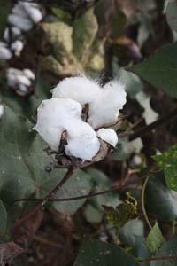 cotton bole