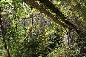 Aiken - Aiken - Hitchcock Woods 17 Sand River flowers